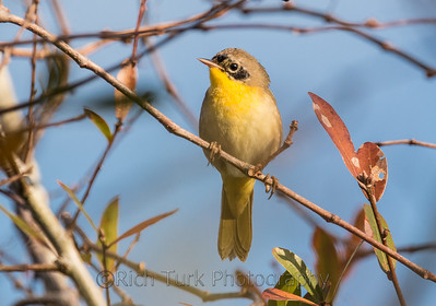Common Yellow Throat Warbler (Female)