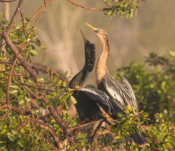 Anhinga Nesting Pair