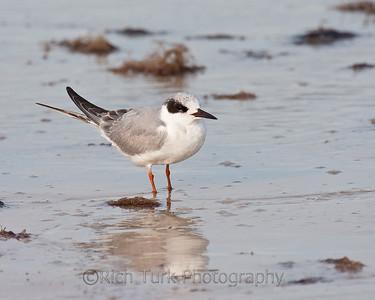 Juvenile Foster's Tern