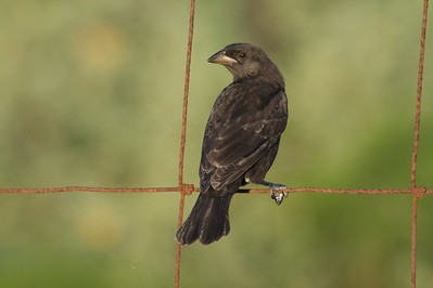 Female Bronzed Cowbirds lack the glossy black plumage and red eyes of the male [April; Sick Dog Ranch, near Alice, Texas]