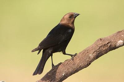 Brown-headed Cowbird [April; Sick Dog Ranch near Alice, Texas]