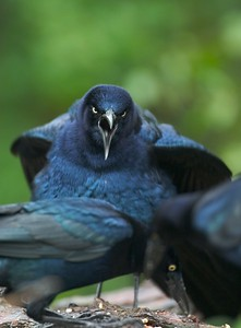 Great-tailed Grackles can get very aggressive when gathered at a feeding station [February; Laguna Atascosa NWR, Texas]
