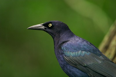 Though they often look black, in teh right light Great-tailed Grackles show purple iridescence  [February; Laguna Atascosa NWR, Texas]