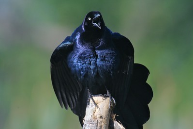 Great-tailed Grackle displaying for a female[April; Krenmueller Farms, Lower Rio Grande Valley, Texas]