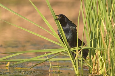Great-tailed Grackles are ubiquitous in South Texas; This male calls from its favorite habitat; cattail marsh [April; Krenmueller Farms, Lower Rio Grande Valley, Texas]