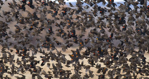 Red-winged Blackbirds (and a few Yellow-headed Blackbirds) congregate in large numbers in winter [December; Bosque del Apache National Wildlife Refuge, San Antonio, New Mexico]