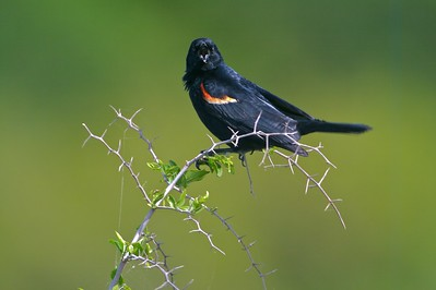 Territorial male Red-winged Blackbirds make sure all the other watching males (and females!) can see his bright red epaulats [April; Sick Dog Ranch near Alice, Texas]