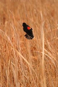 Red-winged Blackbirds are often the first birds to return to the cattail marsh in spring; Sometimes when the marsh is still frozen! [April; Minnesota]