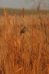 Female Red-winged Blackbirds must be cryptically colored so as not to stand out in their nests [April; Minnesota]