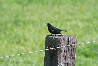 Tricolored Blackbird CA IMG_0718