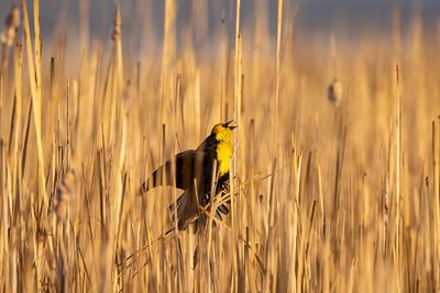 Yellow-headed Blackbird Chase Lake NWR Stutsman County ND  IMGC8181