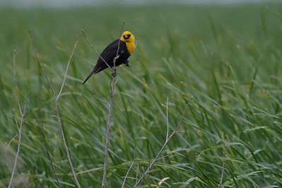 Yellow-headed Blackbird [June; Martin County, Minnesota]