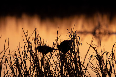 Yellow-headed Blackbird Arrowwood NWR Stutsman County ND  IMGC8121