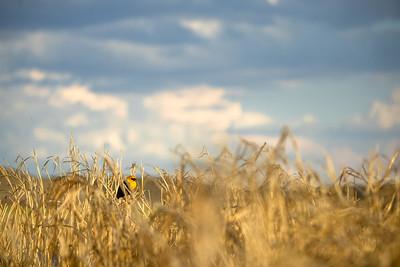 Yellow-headed Blackbird Arrowwood NWR Stutsman County ND  IMGC8043