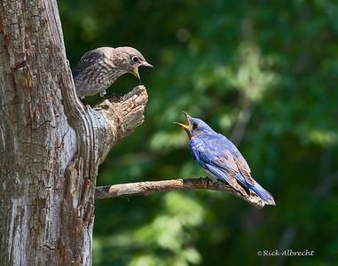 08-VG8151 Bluebird & Chick