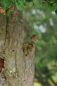 We see Eastern Bluebirds nesting in manmade boxes so often that we do a double take when we see them actually nesting in a hollow tree [July; Schillos, Carlton County, Minnesota]