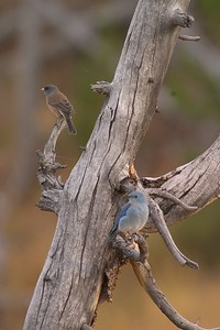 A migrating Mountain Bluebird joins a  Dark-eyed Junco in Yellowstone [September; Yellowstone National Park, Wyoming]