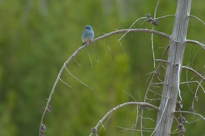 Mtn Bluebird curved branch 760_6081