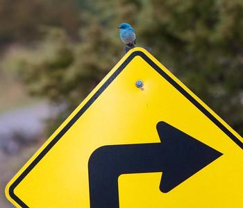 Mountain Bluebird Theodore Roosevelt National Park ND IMG_9224