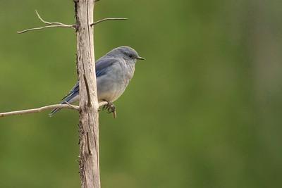 Mtn Bluebird 761_6127