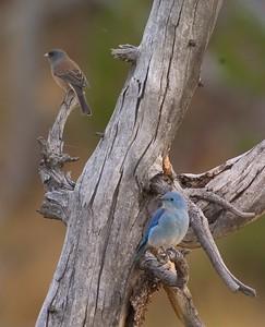 Mtn Bluebird & Junco Yellowstone 760_6054