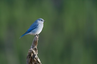 """""""The bird that carries the sky on its back"""" [September; Yellowstone National Park, Wyoming]"""