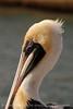 Brown Pelicans, FL (1)