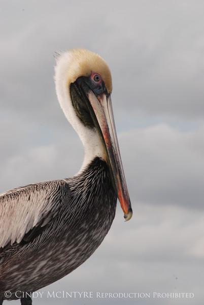 Brown Pelicans, FL (11)