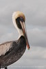 Brown Pelicans, FL (11)