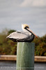 Brown Pelicans, FL (4)