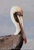 Brown Pelicans, FL (19) - Copy