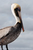 Brown Pelicans, FL (9)