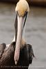 Brown Pelicans, FL (23)