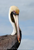 Brown Pelicans, FL (20)