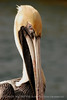 Brown Pelicans, FL (47)
