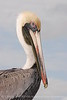 Brown Pelicans, FL (21)