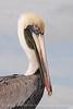 Brown Pelicans, FL (21)