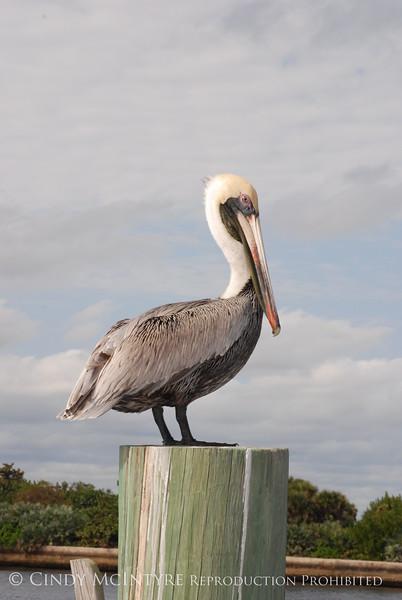 Brown Pelicans, FL (14)