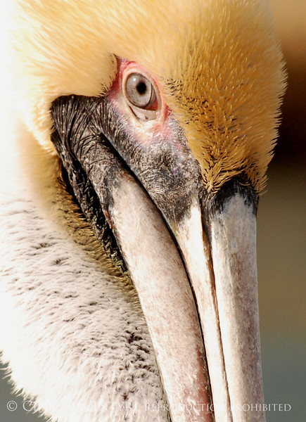 Brown Pelicans, FL (41)