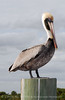Brown Pelicans, FL (8)