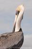 Brown Pelicans, FL (15)