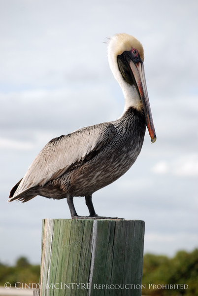 Brown Pelicans, FL (6)