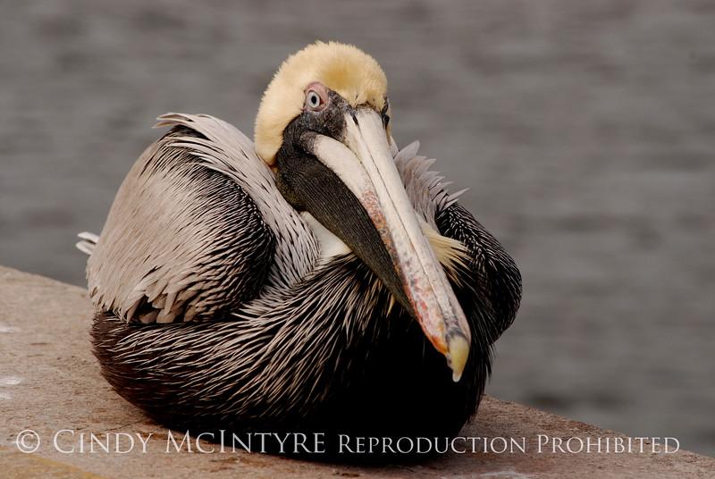 Brown Pelicans, FL (28)