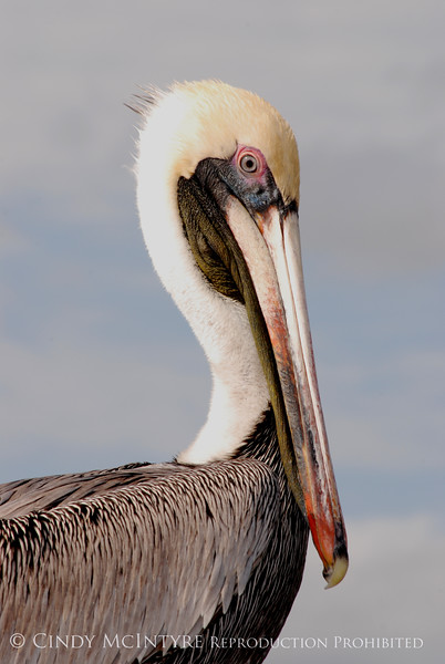 Brown Pelicans, FL (18)