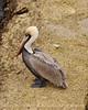 Brown Pelicans, FL (29)