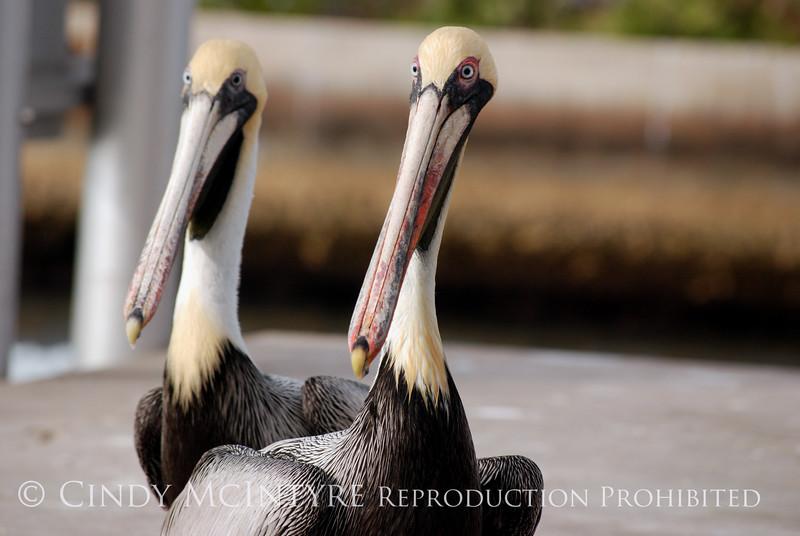 Brown Pelicans, FL (37)