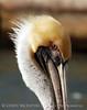 Brown Pelicans, FL (43)