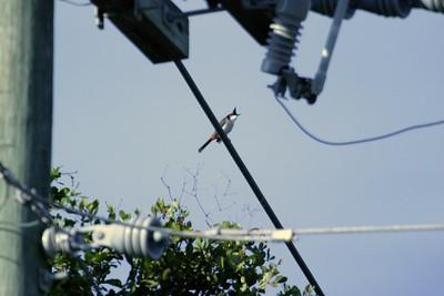 Red-whiskered Bulbul nr Miami FL IMG_1246