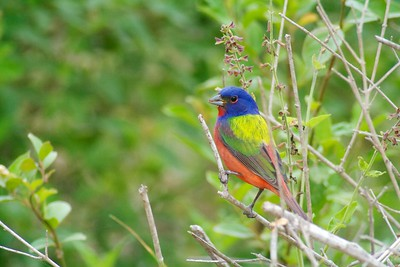 Painted Bunting [April; Krenmueller Farms, Lower Rio Grande Valley, Texas]