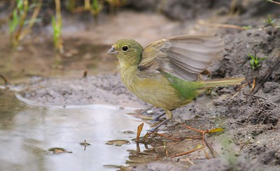 Female Painted Buntings are a very drab bird compared to their male counterparts [June; Sick Dog Ranch near Alice, Texas]